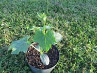 One Month Old Luffa Plant
